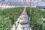 Почему помидоры из ростовской станицы считаются самыми вкусными в РФ