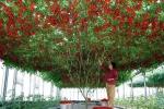 Раннее выращивание томатов. Ранние сорта томата